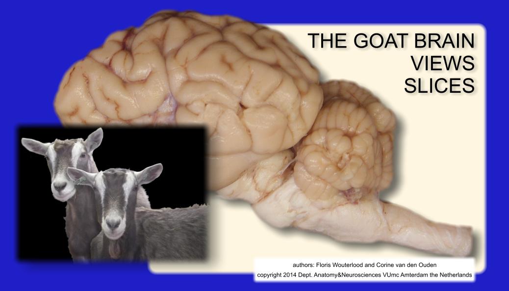 goat brain atlas