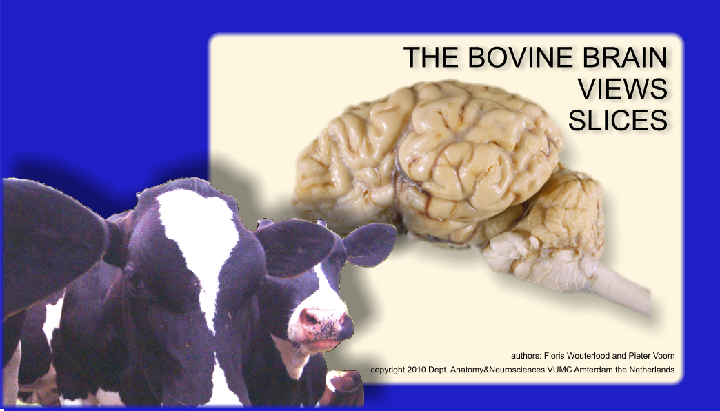 Bovine Brain Atlas